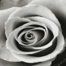 Grote bloem, zwart wit