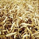 Graanveld, gele tint