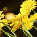 Gele bloemen, groot. Onscherpe achtergrond.