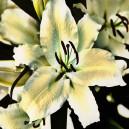 Witte bloem, groot. Ruw.