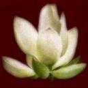 Witte bloem, rode achtergrond. Ruw.