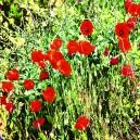 Rode bloemen in groene vegetatie. Getint.