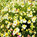 Grasveld, verschillende bloemen.