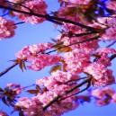 Takken, roze bloemen.