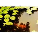 Waterlelies en vis