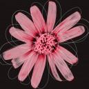 Licht rode bloem, donkere achtergrond. Witte lijnen.